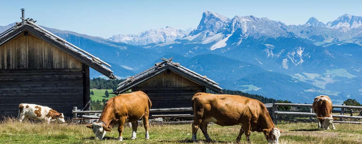 Kühe weiden vor unserer Almhütte