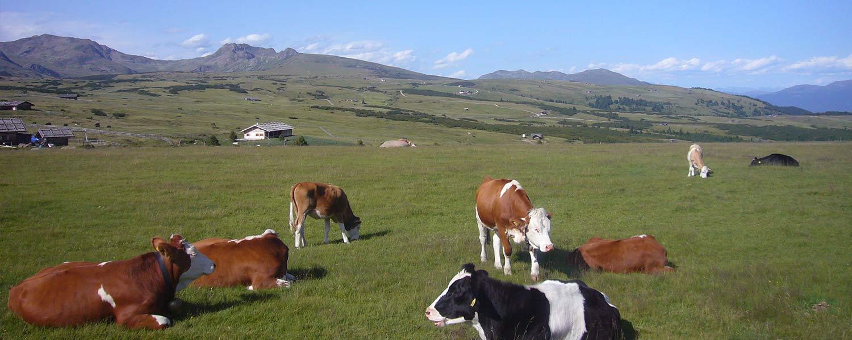 Villanderer Alm - das Vieh vom Winkler Hof auf der Weide