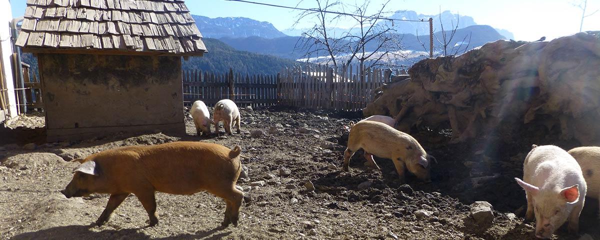 Speck & Fleisch von den Schweinen am Hof